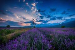 Lavendelfeld bei Sonnenuntergang Blühende duftende Felder der Lavendelblume in den endlosen Reihen Stockfotografie