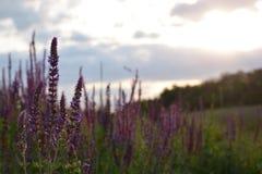 Lavendelfeld bei Sonnenuntergang Marienkäfer, der auf Lavendelblume sitzt Lizenzfreies Stockbild