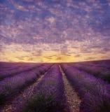 Lavendelfeld in der Blüte Lizenzfreie Stockbilder