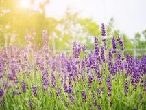 Lavendelfeld für Hintergrund in Japan Lizenzfreies Stockfoto