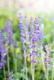Lavendelfeld im natürlichen lizenzfreies stockbild