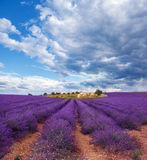 Lavendelfeld im Sommer Lizenzfreies Stockfoto