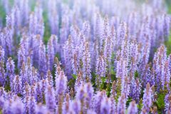 Lavendelfeld im Sonnenlicht Lizenzfreies Stockfoto
