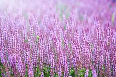 Lavendelfeld im Sonnenlicht Lizenzfreies Stockbild