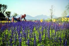 Lavendelfeld im Sonnenlicht Stockbild