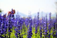 Lavendelfeld im Sonnenlicht Stockbilder