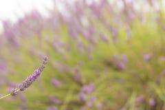 Lavendelfeld mit aus Fokushintergrund heraus lizenzfreie stockfotografie