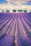 Lavendelfeld mit Bäumen Lizenzfreies Stockfoto