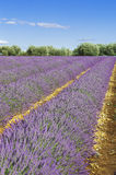 Lavendelfeld mit blauem Himmel Stockfoto