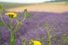 Lavendelfeld, mit gelben Gänseblümchen im Vordergrund Stockfotos