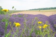 Lavendelfeld, mit gelben Gänseblümchen im Vordergrund Lizenzfreies Stockfoto