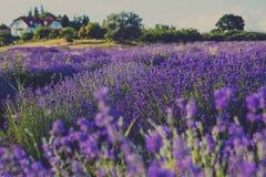 Lavendelfeld mit Haus und Bäumen Lizenzfreies Stockfoto