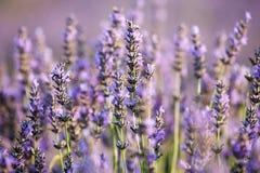 Lavendelfeld nahe Kleinstadt Wohnung, Provence, Frankreich Stockfotografie