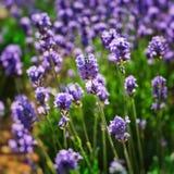 Lavendelfeld - nahes hohes lizenzfreies stockfoto