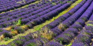 Lavendelfeld, Provence, Frankreich Lizenzfreies Stockbild