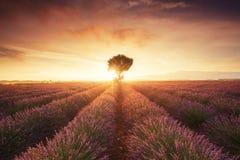 Lavendelfeld in Provence Frankreich Stockbild