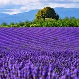 Lavendelfeld, Provence, Frankreich Lizenzfreies Stockfoto