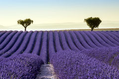 Lavendelfeld Sommer-Sonnenunterganglandschaft Lizenzfreies Stockbild