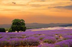 Lavendelfeld am Sonnenuntergang Lizenzfreie Stockfotografie