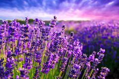 Lavendelfeld in Tihany, Ungarn Lizenzfreie Stockfotos