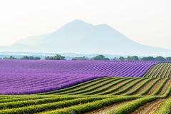 Lavendelfeld umgeben durch Berge, Provence Stockfotografie