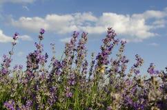 Lavendelfeld und -ätherisches Öl Lizenzfreies Stockfoto