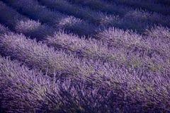 Lavendelfeld und Strahl des Lichtes Provence, Frankreich Stockbilder