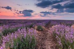 Lavendelfeld unter blauem Himmel mit Wolken an Stockfotos