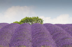 Lavendelfeld in voller Blüte Stockbild