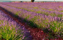Lavendelfeldblüte lizenzfreie stockfotos