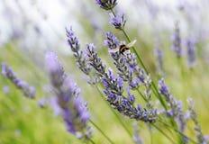 Lavendelfelddetail Stockfotos