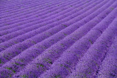 Lavendelfelder Stockfoto