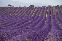 Lavendelfelder Stockbild