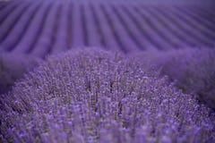 Lavendelfelder Lizenzfreies Stockfoto