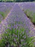 Lavendelfelder für wesentliche Schmieröle Lizenzfreie Stockfotos