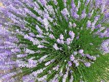 Lavendelfelder für wesentliche Schmieröle Stockbild