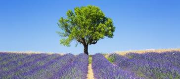 Lavendelfelder mit Baum Stockfotografie