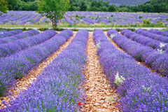 Lavendelfelder nahe Valensole in Provence, Frankreich Lizenzfreie Stockfotografie