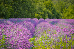 Lavendelfelder in Provence Lizenzfreie Stockfotografie