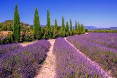 Lavendelfelder und Zypressenbäume in Provence, Frankreich stockfotografie