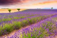 Lavendelfelder in Valensole, Frankreich Stockfotografie