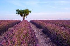 Lavendelfeldsommer-Sonnenunterganglandschaft mit einzelnem Baum nahe Val Lizenzfreies Stockfoto