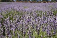 Lavendelfestival bij Landbouwbedrijf 123 Stock Foto's