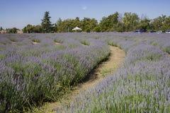 Lavendelfestival bij Landbouwbedrijf 123 Royalty-vrije Stock Fotografie