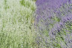 Lavendelfestival bij Landbouwbedrijf 123 Royalty-vrije Stock Foto