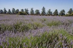 Lavendelfestival på lantgård 123 Royaltyfri Bild