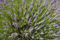 Lavendelfestival på lantgård 123 Arkivfoto