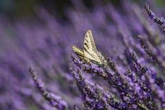 Lavendelfestival på lantgård 123 Royaltyfria Foton