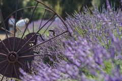 Lavendelfestival på lantgård 123 Arkivbilder