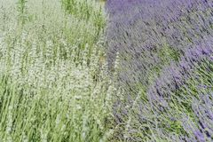Lavendelfestival på lantgård 123 Arkivbild